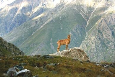 Goat. Ullu-Tau massif