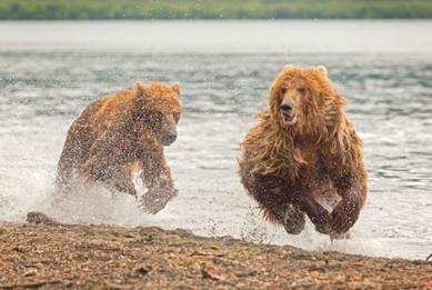 Bear jumps