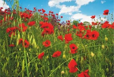 Poppies. Crimea