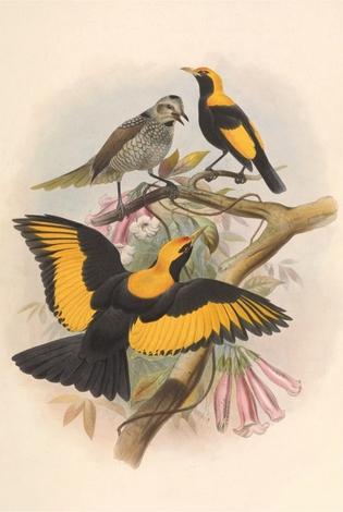 Regent birds